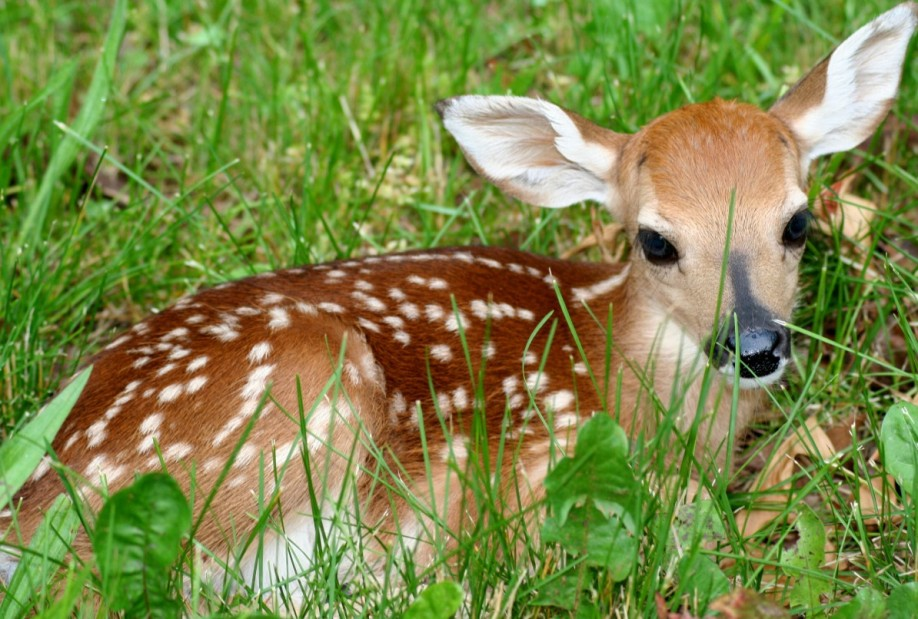 An example of a red deer fawn (American species).
