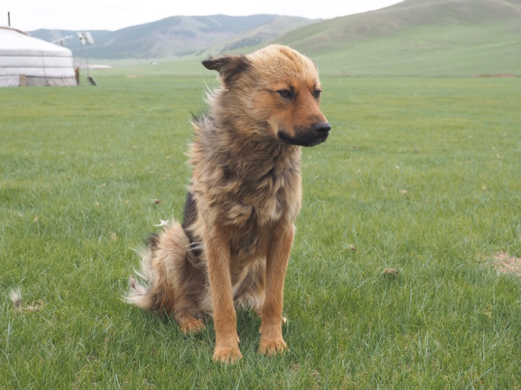 A Mongolian dog, as seen in Mongolia.